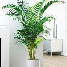 The World's Most Popular Indoor Palm - Areca Palms boldly go further up north than any other palms have before because they thrive in pots and low light conditions. If you live outside of the Areca Palm's recommended growing zones 9 – 11 plant your palms Palm Trees For Sale, Indoor Palm Trees, Indoor Palms, Palm Tree Plant, Trees To Plant, Potted Palms, Indoor Trees Low Light, Potted Palm Trees, Palm Trees Garden