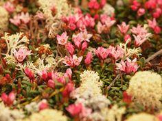 Alpine azalea flowers