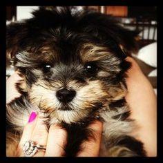 Morkie Puppy - looks like my Rocco :)