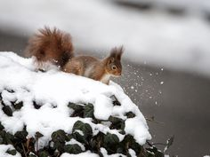 Squirrel  - Squirrel in the snow by Marc Tornambé