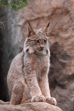 Lynx of Canada by Alain Ranger on 500px