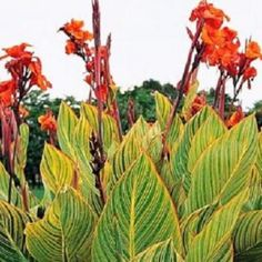 How to care for Canna plants throughout the growing season. Planting Canna lily bulbs, rhizomes, and seeds. Buy red, yellow, and orange Canna lilies including 'Bengal Tiger' and 'Picasso'. Water Garden Plants, Container Water Gardens, Container Plants, Container Gardening, Canna Flower, Canna Lily, Tropical Garden, Tropical Plants, Flowers Perennials