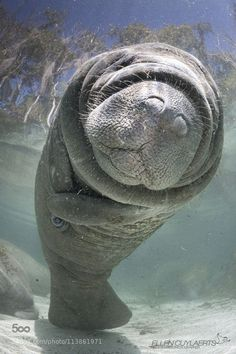 Manatee!! So enjoyed seeing these in their own habitats while in Florida!!