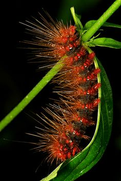 Moth Caterpillar,mom shuttered at these Weird Insects, Cool Insects, Bugs And Insects, Weird Creatures, All Gods Creatures, Beautiful Bugs, Beautiful Butterflies, Caterpillar Insect, Insect Orders