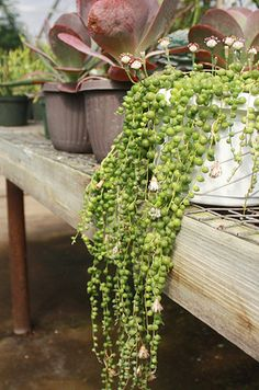 17 Incredible Houseplants You Need Right Now -- String of Pearls is one of my favorite plants