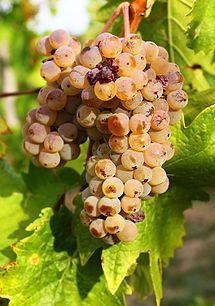 Welschriesling - Vinthousiast, Rupelmonde (Kruibeke) - www.vinthousiast.be
