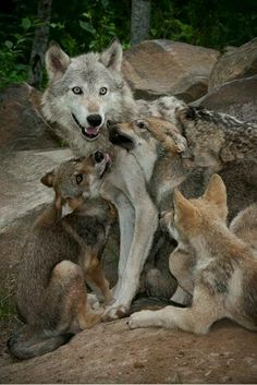 wolf family, how can humans not see the love they have for family♥ Wolf Photos, Wolf Pictures, Animal Pictures, Beautiful Creatures, Animals Beautiful, Wolf Hybrid, Baby Animals, Cute Animals, Wolf World