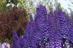 Pagan purple delphinium!