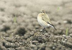 Isabelline Wheatear - Ian Lewington Wildlife Art, Birds, Animals, Drawings Of Birds, Animales, Animaux, Bird, Animais, Animal
