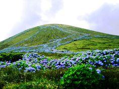Hortênsias escorrendo por um monte da ilha das Flores / Hortensias in Azores Portugal