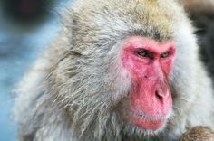1280px-Japanese_Macaque_Fuscata_Image_370.jpg (1280×850)
