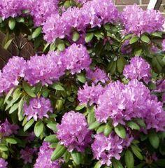 Puistoalppiruusu Rhododendron Catawbiense Grandiflorum