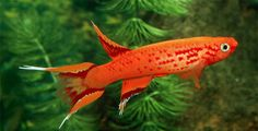 Fish Breeds – Information and pictures of saltwater and fresh water fish – Killifish