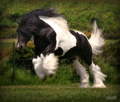 Tom Price Stallion - The Diplomat (Now at West Hill Ranches in NY) by Dog Is Love, via Flickr