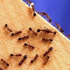 Dica caseira para matar formigas