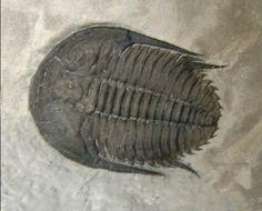 Orygmaspis contracta Trilobite    Trilobites Order Asaphida Superfamily Anomocaroidea Family Parabolinoididae  Geologic Age: Upper Cambrian  Trilobite is 22 mm long   McKay Group, British Columbia, Canada