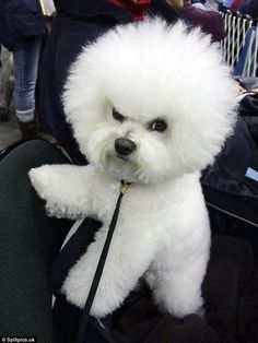 Animals Discover Owners share terrifying photos of their angry animals Fluffy but feisty: This little pooch didnt look too impressed after a trip to the grooming salon Angry Animals, Animals And Pets, Funny Animals, Cute Dogs Breeds, Dog Breeds, Cute Puppies, Dogs And Puppies, Bichon Dog, Malteser