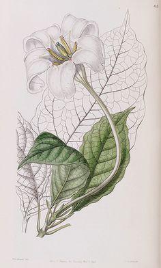 Rothmannia longiflora [as Gardenia devoniana] Edwards's Botanical Register vol. 32 (1846) [Sarah Ann Drake]