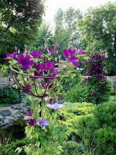 Clematis growing on standard rose support...clever.