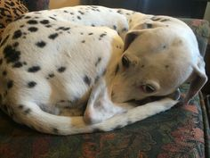 #SpottyDotty all curled up