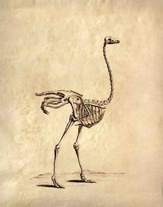 11x14 Vintage Science Animal Study. Ostrich Skeleton available at http://www.etsy.com/shop/curiousprints?ref=seller_info