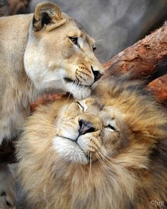 ~~I love you! ~ Lions snuggling by ysaleth~~