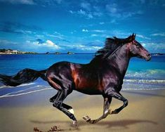A photograph of a beautiful dark shiny horse, galloping along the sandy beach with turquoise salt water and a blue cloud filled sky. Beautiful Arabian Horses, Most Beautiful Horses, Majestic Horse, Pretty Horses, Horse Photos, Horse Pictures, Mustang Emblem, Western Riding, Horse Photography