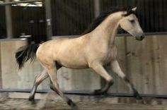 Flying W Farms Baron Von Ballindee Georgian Grande, Friesian x Saddlebred My Horse, Horse Love, American Saddlebred, All About Horses, Horse World, Clydesdale, Friesian, Draft Horses, Horse Photos