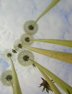picture from underneath a dandelion! This is such an interesting perspective!A picture from underneath a dandelion! This is such an interesting perspective! Perspective Photography, Macro Photography, Creative Photography, Family Photography, Perspective Photos, Friend Photography, Conceptual Photography, Maternity Photography, Photography Poses