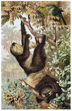 oldbookillustrations: Two-toed sloth. From Brehms Tierleben...