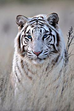 Stunning white tiger.