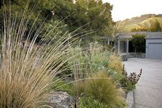 Deer grass (Muhlenbergia rigens), hummingbird sage (Salvia spathacea), and manzanitas (Arctostaphylos) edge the driveway to the author's Lafayette home; coast live oaks (Quercus agrifolia), planted at the garden's start thirty years ago, now completely enclose the property. Photographs by Saxon Holt