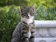 This is another of our feral cats, Cole....He's Ash's brother. Very tame, too!  -  and that is how he looks.  So cute.