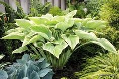 2015 Hosta of the Year - Victory