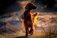 Cloey - Cloey Cloey Cinammon's is a sister of Chase. Very joyful, playful 3 year old Red Irish Setter.