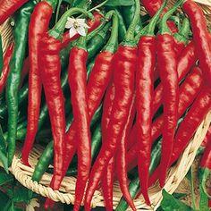 Chili Cayenne aus Portugal - sehr robust und handverlesen - 20 Samen
