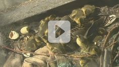 A man helps rescue a nest full of ducklings by catching each one as they jump from a ledge to the concrete street below. He then leads the family through a parade route and safely back to water. Thank God this kind stranger was able to help! http://www.faith.com/video/A-Man-Helps-Several-Ducklings-Make-a-Safe-Landing/