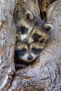 Raccoons - double trouble!