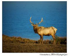 Bull Elk & Birds Ocean View Wall Art Decor Photography by Neekapix, $15.00