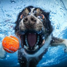 Pro photographer took pictures underwater of dogs playing in pool with a ball.  Is this cool or what!