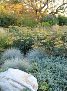 Achillea millefolium Common Yarrow Gorgeous Blue Oat Grass vogue Los Angeles Contemporary Landscape Decorating ideas with boulder drought tolerant dry garden flowers meadow ornamental grasses palos verdes succulents Drought Resistant Plants, Drought Tolerant Landscape, Drought Resistant Landscaping, Contemporary Landscape, Landscape Design, Desert Landscape, Landscape Architecture, Contemporary Design, Ornamental Grasses