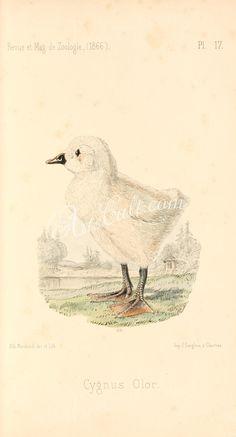 Mute Swan      ...