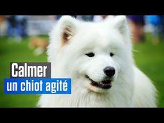 YouTube Education Canine, Dog Cat, Cats, Animals, Photos, Good Morning People, Samoyed Dogs, Husky Puppy, Eurasier