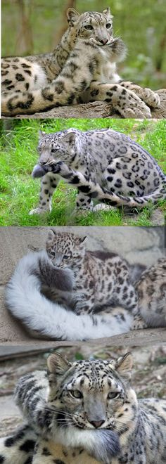 This is why Snow Leopards are the best big cats - AWW - - This. This is why Snow Leopards are the best big cats The post This. This is why Snow Leopards are the best big cats appeared first on Gag Dad. Big Cats, Crazy Cats, Cats And Kittens, Cute Cats, Funny Cats, Kittens Meowing, Cats Bus, Adorable Kittens, Animals And Pets
