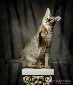 91 Best Chausie Cats Images Chausie Cat Jungle Cat Cats