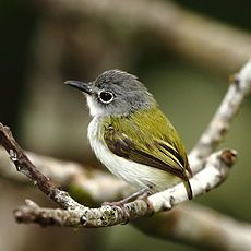 Short-tailed pygmy tyrant (Myiornis ecaudatus) is the smallest species of passerines -