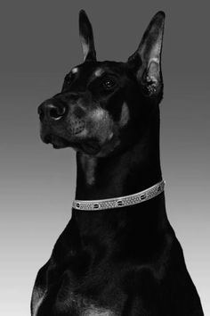 Doberman's make great companion animals. Perhaps we will have one later in life ...