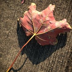 #leaf #pink #fall #Berlin (at Berlin-Hellersdorf)