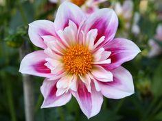 Dahlia Catalog - -Alpen Mary Lloyd