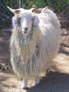 Angora goat stock image. Image of indoors, sheep, shaggy - 18257811